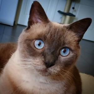 Pacha 1 - Galerie photos de chats par Ô p'tits félins Annecy