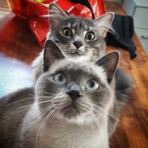 Pacha_Voyou - Galerie photos de chats par Ô p'tits félins Annecy