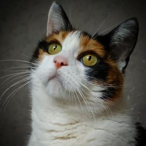 Patty 2 - Galerie photos de chats par Ô p'tits félins Annecy