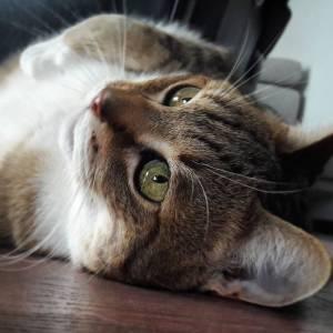 Pepito - Galerie photos de chats par Ô p'tits félins Annecy
