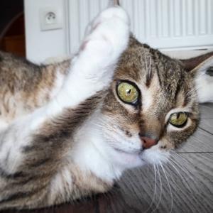 Pepito 2 - Galerie photos de chats par Ô p'tits félins Annecy