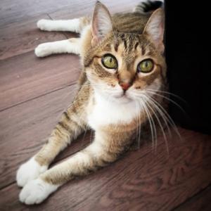 Pepito 3 - Galerie photos de chats par Ô p'tits félins Annecy