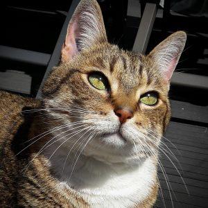 Pepito 5 - Galerie photos de chats par Ô p'tits félins Annecy