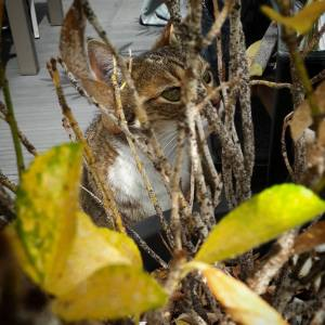 Pepito 6 - Galerie photos de chats par Ô p'tits félins Annecy