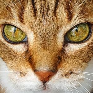 Pepito 7 - Galerie photos de chats par Ô p'tits félins Annecy
