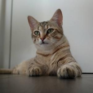 Pixel 1 - Galerie photos de chats par Ô p'tits félins Annecy