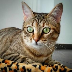 Pixel 2 - Galerie photos de chats par Ô p'tits félins Annecy
