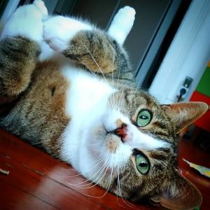 Plume - Galerie photos de chats par Ô p'tits félins Annecy