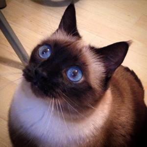 Princesse - Galerie photos de chats par Ô p'tits félins Annecy
