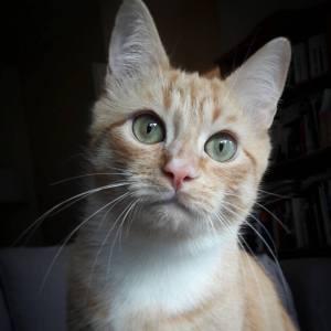 Ptit_biscuit - Galerie photos de chats par Ô p'tits félins Annecy