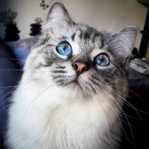 Romeo - Galerie photos de chats par Ô p'tits félins Annecy