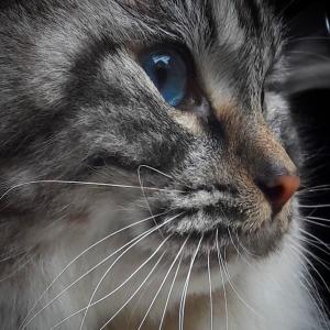 Romeo 1 - Galerie photos de chats par Ô p'tits félins Annecy