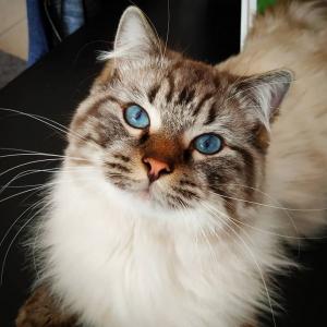 Romeo 2 - Galerie photos de chats par Ô p'tits félins Annecy