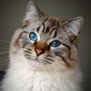 Romeo 3 - Galerie photos de chats par Ô p'tits félins Annecy