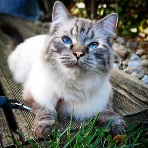 Romeo 4 - Galerie photos de chats par Ô p'tits félins Annecy