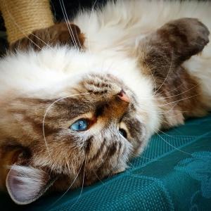 Romeo 5 - Galerie photos de chats par Ô p'tits félins Annecy