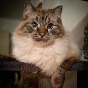 Romeo 6 - Galerie photos de chats par Ô p'tits félins Annecy