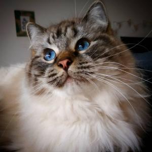 Romeo 7 - Galerie photos de chats par Ô p'tits félins Annecy