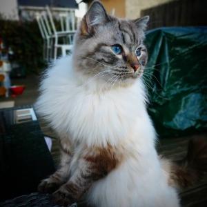 Romeo 8 - Galerie photos de chats par Ô p'tits félins Annecy
