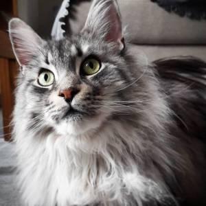 Seven - Galerie photos de chats par Ô p'tits félins Annecy