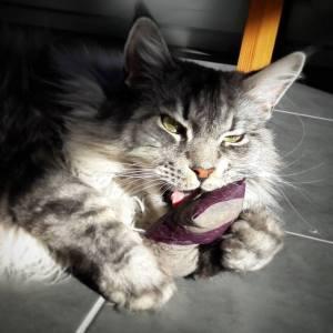 Seven 2 - Galerie photos de chats par Ô p'tits félins Annecy