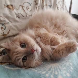 Shanti - Galerie photos de chats par Ô p'tits félins Annecy