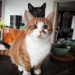 Soleil_Kate - Galerie photos de chats par Ô p'tits félins Annecy