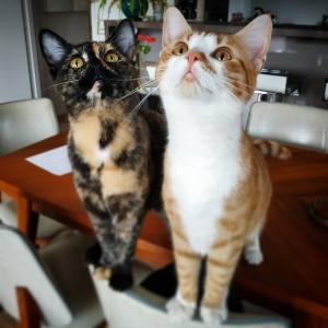 Soleil_Kate 1 - Galerie photos de chats par Ô p'tits félins Annecy