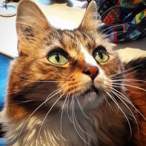 Tibouille - Galerie photos de chats par Ô p'tits félins Annecy