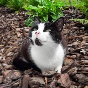 Tiwi - Galerie photos de chats par Ô p'tits félins Annecy