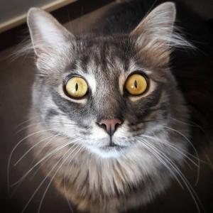 Voyou - Galerie photos de chats par Ô p'tits félins Annecy