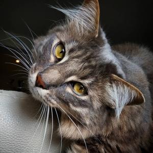 Voyou 1 - Galerie photos de chats par Ô p'tits félins Annecy