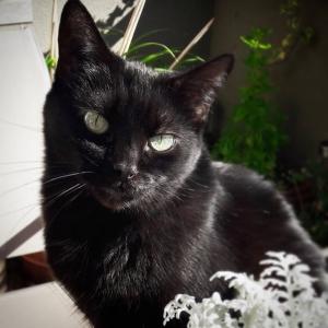 Yang - Galerie photos de chats par Ô p'tits félins Annecy