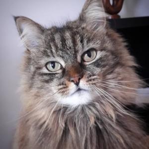 Zara - Galerie photos de chats par Ô p'tits félins Annecy