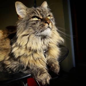 Zara 1 - Galerie photos de chats par Ô p'tits félins Annecy
