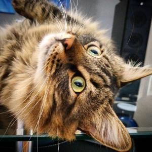 Zef - Galerie photos de chats par Ô p'tits félins Annecy
