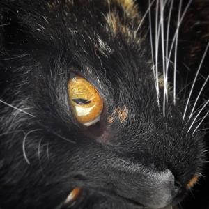 Zia 1 - Galerie photos de chats par Ô p'tits félins Annecy