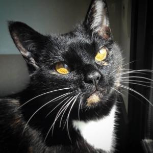 Moka - Galerie photos de chats par Ô p'tits félins Annecy