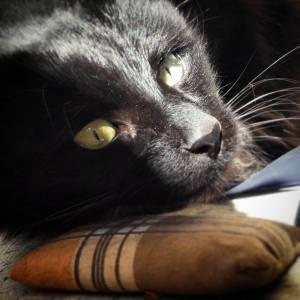 Zimba - Galerie photos de chats par Ô p'tits félins Annecy