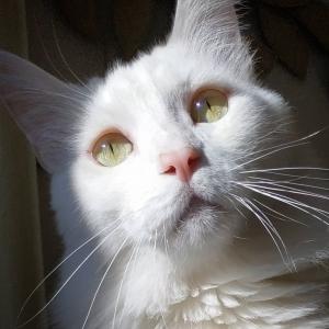 Gary 2 - Galerie photos de chats par Ô p'tits félins Annecy